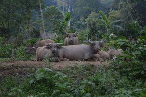 Buffaloes in Xuan Son National Park
